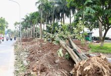ハノイ:トベラを郊外に植え替え