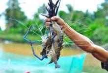 オーストラリア輸出のベトナム産のエビと唐辛子:不法物質が発見された1