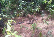 2匹の豚尾サルが森に放たれます